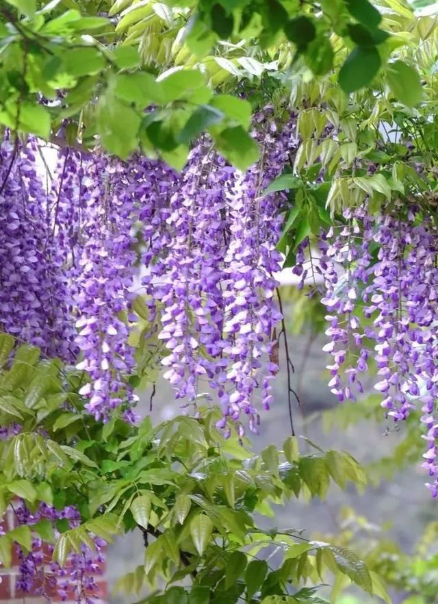 """开启紫色模式!绝美""""紫色瀑布""""刷屏市北,就在你家门口"""